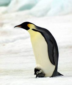 Papa Penguin, the original Snuggie | Photo from British Antarctic Survey