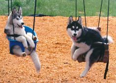 Wonderful All About The Siberian Husky Ideas. Prodigious All About The Siberian Husky Ideas. Animals And Pets, Baby Animals, Funny Animals, Cute Animals, Animal Memes, Cute Husky, Husky Puppy, Funny Husky, Cute Puppies
