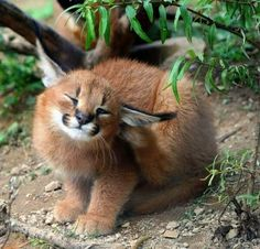 17 Adorable Pictures of Baby Caracals That Will Melt Your Heart - meowlogy Big Cats, Cats And Kittens, Cute Cats, Beautiful Cats, Animals Beautiful, Caracal Caracal, Animals And Pets, Funny Animals, Funny Cats