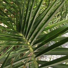 Die hanfpalme im garten oder als zimmerpflanze beides ist m glich palme pflege hanf und - Hanf zimmerpflanze ...