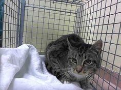 SAFE! TO BE DESTROYED 1/21/15 *NYC* PRETTY LITTLE 8 MONTH OLD! * Brooklyn Center * Per vet exam: ALLOWS HANDLING, NO SIGN OF AGGRESSION AND VERY SWEET. *NH ONLY* Please foster, adopt or pledge to save this baby tonight! *   My name is GALAXY. My Animal ID # is A1025541. I am a female blk tabby domestic sh. I am about 8 MONTHS old.   OWNER SUR on 01/15/2015 from NY 11417, HOARDING. Group/Litter #K15000531.