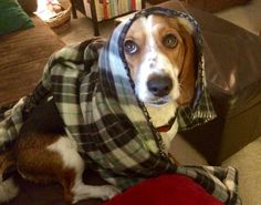 My dogs: sweet Lucy (beagle/basset hound)