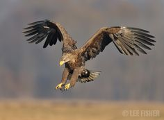 EAGLE SWOOP by Lee Fisher on . A White tailed sea eagle swoops down in the incredible morning light. Shot taken in central Poland. Eagle Bird, Bald Eagle, White Tailed Eagle, Phoenix Tattoo Design, Anatomy Sketches, Golden Eagle, Birds Of Prey, Wild Birds, Bird Feathers