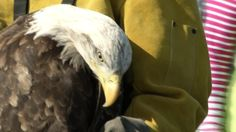Bald Eagle Released at Mackinac Bridge After Being Rescued and R - Northern Michigan's News Leader