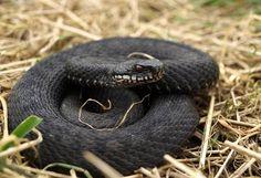 Wildlife Extra News - Black melanistic adder in Kent