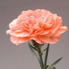 Resultado de imagem para fleur oeillet