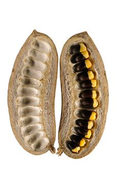 African mahogany seeds and pod.