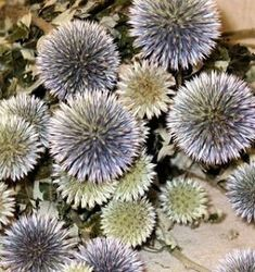 These cute spiky flowers are so fun in any Bouquet. They are called Globe Thistle or Echinops. They have been naturally dried and will keep their color and shape for years if kept in good condition. Order now for summer weddings or home decorating. #driedflowers #echinops #summerdecor #summerwedding #homedecor #bouquetofflowers #weddingbouquet #weddingideas #farmhouse