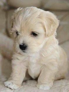 Snowpuff...puppy!