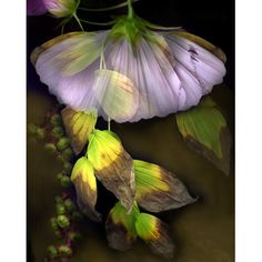 """Kim Kauffman  The title of Kim Kauffman's stunning photographic series, Florilegium, means """"a gathering of flowers"""" and is derived from books of voluptuous flower paintings that proliferated in the 1600 and 1700's as Europeans traveled the world and commissioned artists to document the botanical treasures they discovered."""