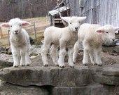baby lambs <3