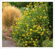Bupleurum fruticosum | Lambley Nursery Lavender, Alice, Nursery, Backyard, Garden, Plants, Day Care, Yard, Baby Rooms