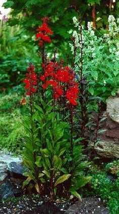 Cardinal Flower - All soil types, neutral to slightly acidic, moist/never dry, partial shade to sun.  Up to 4', Blooms July - Sept.