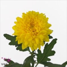Chrysanthemum Blooms Equator are a yellow, disbudded, single headed cut flower variety. 70cm tall & wholesaled in 10 stem wraps.