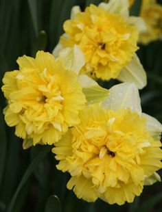 Double flowering Lovely You can get bulbs that bloom at different times in spring to supply flowers all season long Just plant them in strips or bunches near each other Exotic Flowers, Cut Flowers, Yellow Flowers, Spring Flowers, Beautiful Flowers, Garden Bulbs, Planting Bulbs, Planting Flowers, Daffodils