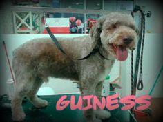 Guiness, un precioso perro de aguas, quiso deshacerse de sus rizos y, como no, acudió a nuestra peluquería .  ¡Fresquito para disfrutar del verano! #peluqueriacanina #mascotas