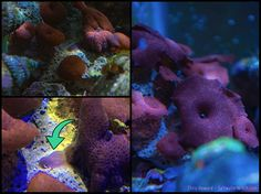 """I just noticed one of the discosoma corals (corallimorphs, """"mushroom corals"""") in my tank is planning for more children--clones. Like many Cnidarians (corals, sea anemones, etc) discosoma corals have a few options when it comes to reproduction, including what you see in the left-side images, a process called """"pedal laceration"""", where the coral moves slowly away from its current place on the substrate, leaving behind a piece of its """"foot"""", which then grows up into a full sized clone of its…"""