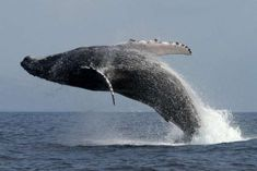 Tour Avistamiento de ballenas . Este tour es agradable para psar en familia donde podrán disfrutar del espectaculo que cada año se realiza en los meses de Junio a septiembre con la visita de estos mamíferos.