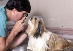 The Shih Tzu eyes are just so gorgeous! However, they need special care. You can avoid many eye problems by taking daily eye care of your Shih Tzu's eyes. Below are some great tips and tricks from Miracle Shih Tzuthat will help you take good care of your Shih Tzu's eyes: Do you know everything …