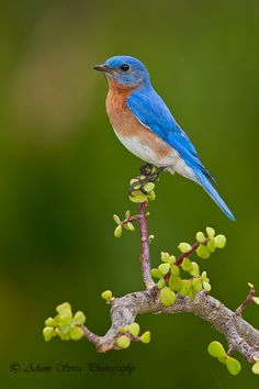 male Blue Bird by Adams Serra