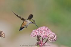 hummer with pink flower