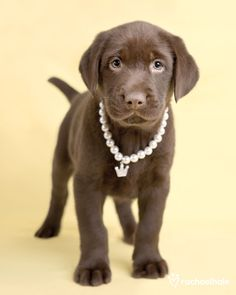 Cocoa is just too sweet. (Chocolate labrador) -and a serious overdose of affection