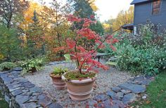 my 'secret' to overwintering japanese maples