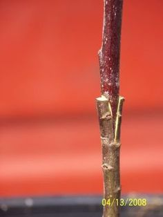 Tree grafting... A photo tutorial.