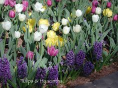 Tulips and Hyacinths-Planting bulbs this fall