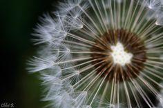 Dandelion... by ChloeBn on 500px