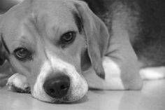 Otis the Beagle in Black and White Beagle, Vintage Jewelry, My Etsy Shop, Black And White, My Style, Animals, Blanco Y Negro, Animaux, Beagles