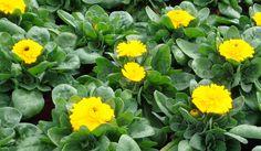 Producción propia de plantas de flor de Vivercid. Plantas de temporada - viveros - productores Valencia.