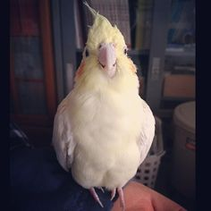 Ruby was smiling. #RememberingRubytheCockatiel # This reminds me of my cockatiel Sparkles- he smiled too & I still miss him- he was my best buddy for 16 years!