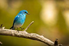 Mountain Blue Bird two step Bird Feathers, Beautiful Birds, Blue Bird, Wildlife, Mountain, Amazing, Pretty, Animals, Little Birds