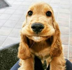 Blue Roan Cocker Spaniel, Cocker Spaniel Puppies, Cute Puppies, Cute Dogs, Dogs And Puppies, Animals And Pets, Cute Animals, Spaniel Breeds, Medium Dogs