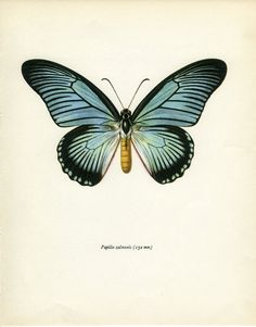 Vintage Print African Swallowtail by MarcadeVintagePrints on Etsy
