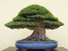 JPB:Bonsai Collection 12 | Satsuki azalea...