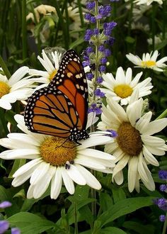 Female monarch's getting a meal out of these lovely daisies