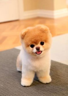 Meet Boo, the world& cutest dog. Meet Boo, the world& cutest dog. The post Meet Boo, the world& cutest dog. appeared first on Pink Unicorn. Cute Teacup Puppies, Cute Dogs And Puppies, Baby Dogs, Doggies, Teacup Dogs, Teacup Animals, Pet Dogs, Puppies Puppies, Fluffy Puppies