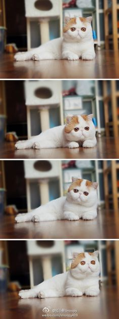 This cat is just too beautiful for words!  I am OBSESSED!      红小胖Snoopy的微博 - 新浪微博大马站 - Powered By Xweibo