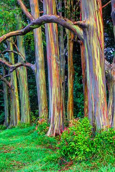 Rainbow Eucalyptus Seeds Tropical Tree Seeds Home Decoration Beautiful Eucalyptus Tree Plant For Garden PlantingPhotographic Print: Hawaii, Maui, Rainbow Eucalyptus Trees by Terry Eggers :Eucalyptus deglupta is a tall tree, commonly known as the rain Rainbow Eucalyptus Tree, Eucalyptus Leaves, Weird Trees, Unique Trees, Tree Seeds, Unusual Plants, Stock Image, All Nature, Still Life