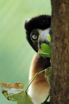 Sifaka by K. verhulst Хохлатые индри, или сифа́ки, или пропитеки — род приматов из семейства индриевых, распространённый только на острове Мадагаскар. Сифаки — обезьяны средней величины, которые достигают размеров от 45 до 55 см и веса от четырёх до шести килограмм.