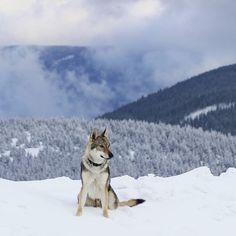 #czechoslovakianwolfdog #friend #outdoors #jeseniky Czechoslovakian Wolfdog, Husky, Outdoors, Friends, Instagram Posts, Dogs, Animals, Beautiful, Amigos