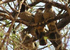 Image from http://www.markeisingbirding.nl/_data/docs/africasongbirds/arrow-marked-babbler.jpg.
