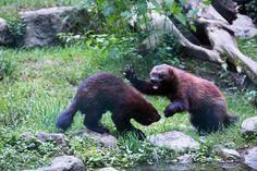 Black Bear, Brown Bear, Wolverine Images, Animals Beautiful, Cute Animals, Amur Leopard, Dangerous Animals, Animal Facts, Siberian Tiger