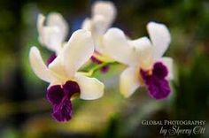 Orchide flower on the botanicle garden Kandy, Sri Lanka. German and emglish speaking tourist guide: susantha2803@gmail.com