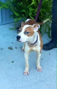 Rawhide - Pit Bull Terrier