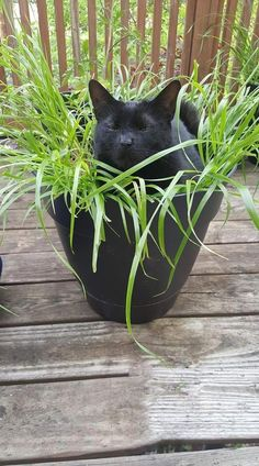 My new black cat plant. Crazy Cat Lady, Crazy Cats, Animals And Pets, Cute Animals, Gato Grande, Clumping Cat Litter, All About Cats, Tier Fotos, Beautiful Cats