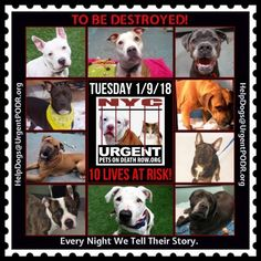 TO BE DESTROYED 01/09/18 - - Info      https://newhope.shelterbuddy.com/Animal/List   To rescue a Death Row Dog, Please read this:http://information.urgentpodr.org/adoption-info-and-list-of-rescues/ List of NH Rescues: http://www.nycacc.org/get-involved/new-hope/nhpartners To view the full album, please click ...-  Click for info & Current Status: http://nycdogs.urgentpodr.org/to-be-destroyed-4915/