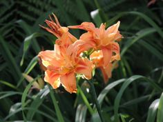 Daylillies -- Kuirau Park, Rotorua, New Zealand -- 21st December 2013
